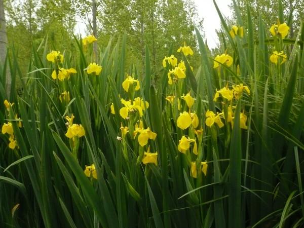 Fleurs du marais